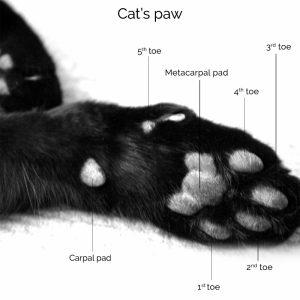 Kedinizin tırnaklarını kesmeli misiniz?   DERMOSCENT TR
